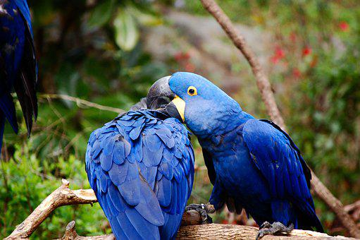 Blue, Macaw, Blue Macaw, Colorful, Exotic, Yellow