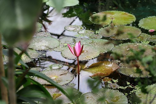 Waterlily, Letter, Flower, Pink, Water, Botany, Flora