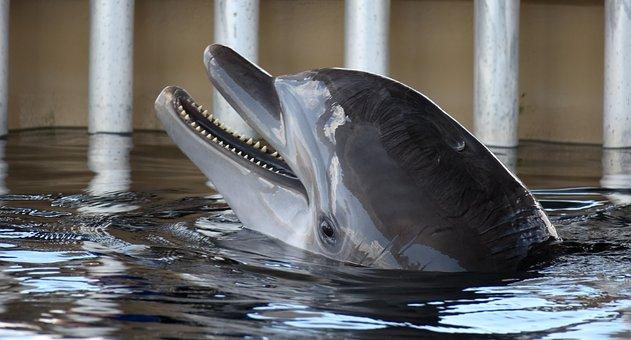 Dolphin, Bottle Nose, Dolphin Teeth, Head