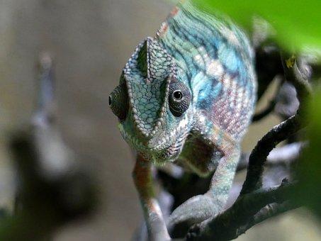 Chameleon, Zoo, Nature, Reptile, Animal, Animal World