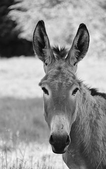 Donkey, Colt, Photo Portrait Black White
