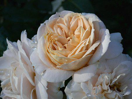 Rose, Filled, Salmon, Cream, Close Up, Rose Bloom