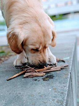 Dog, Golden Retriever, Animal, Pet, Puppy, Cute