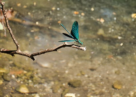 Demoiselle, Close Up, Dragonfly, Blue, Animal