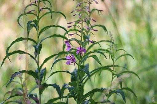 Epilobium Angustifolium, Evening Primrose Greenhouse