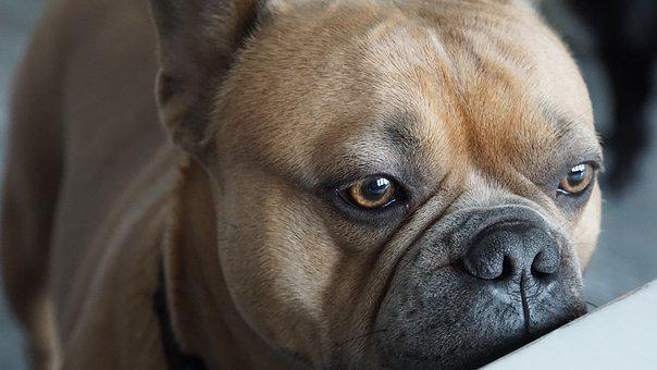 French Bulldog, Eyes, View, Nose, Snout, Close Up