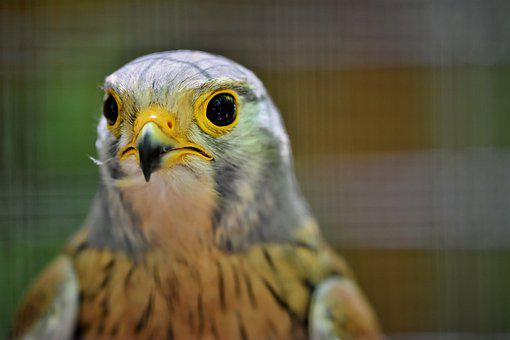 Kestrel, Falcon, Raptor, Bird Of Prey, Bird, Animal