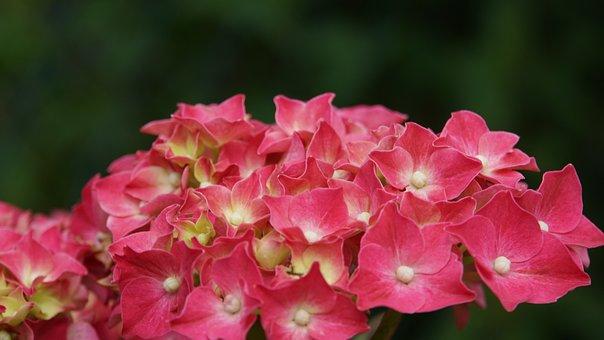 Hydrangea, Flowers, Flower, Garden, Flora, Pink, Tender