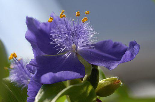 Flower, Spiderwort Lilly, Purple, Wildflower