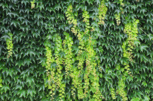Foliage, Structure, Wild Grapes, Wall, Background