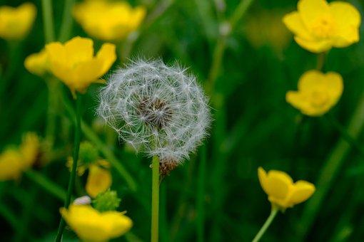 Flower, Daisy, Dandelion, Nature, Meadow, Garden, Plant