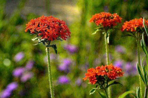 Burning Love, Red, Flower, Bright, Garden, Nature