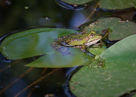 Frog, Lake, Water, Nature, Green, Pond, Animal