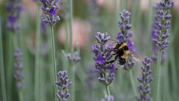 Hummel, Insect, Dicker Brummer, Lavender