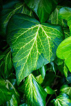 Ivy, Plant, Leaf, Structure, Pattern, Climber Plant