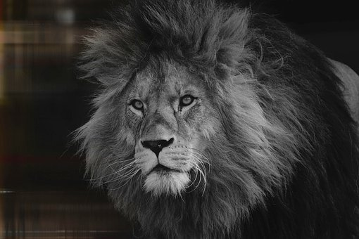 Lion, Zoo, Predator, Animal, Mane, Male, Dangerous