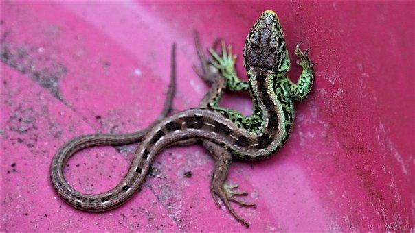 Lizard, Reptile, Salamander, Gecko, Animal