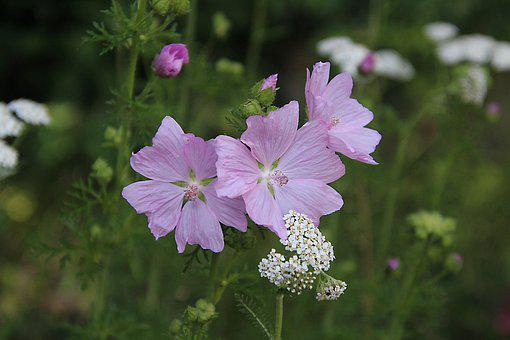 Mallow, Blossom, Bloom, Plant, Pink, Flower, Nature