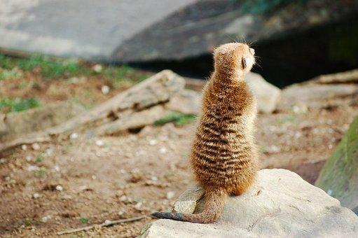 Meerkat, Back, Turn Back, Reverse, Silence, Animal