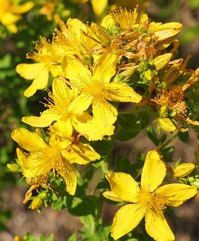 Wild Plant, Shrub, Flowers, Bud, Yellow, Mm, Stamens