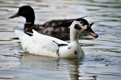 Duck, Muscovy, Wild, Term, White, Black Head, Pond