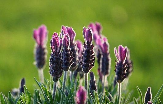 Lavender, Flower, Bloom, Pink, Beauty, Nature, Garden