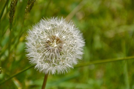 Dandelion, Macro, Close Up, Seeds, Nature, Flower