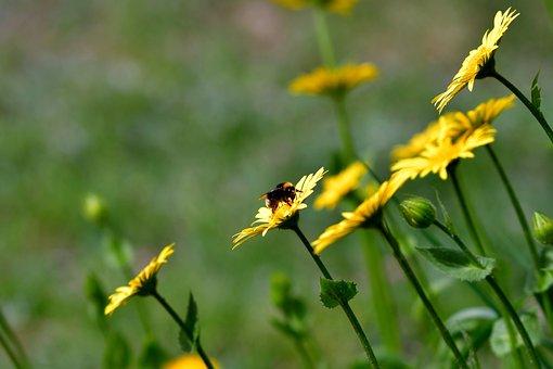 Bee, Bug, Pollen, Margriet, Spanish Margriet, Nature