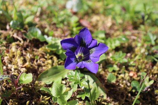 Nature, Wild, Gentiane Coriace, Lila, Mountain Flower