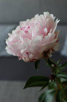 Flower, Peony, Boost, The Smell Of, The Petals, Nature