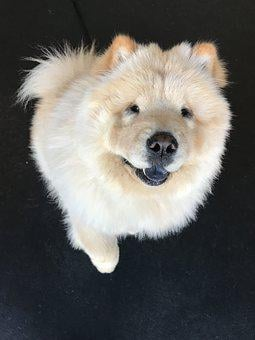 Ottothechowchow, Show Dog, Handsome Dog, Dog Rescue