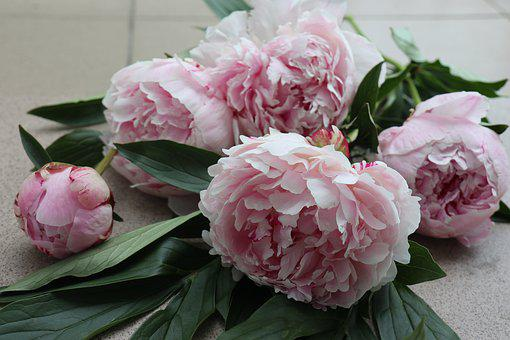 Flowers, Peonies, The Petals, The Smell Of, Pink