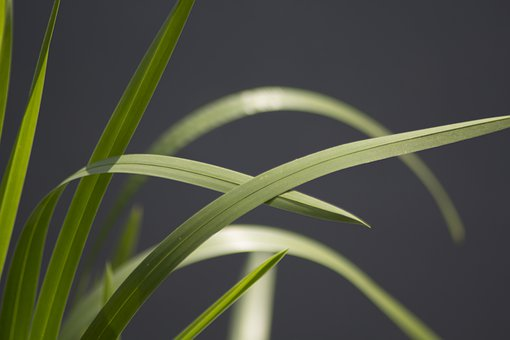 Reeds, Nature, Plant