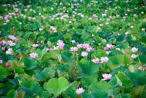 Lotus, Flowers, Nature, Pink, Pond, Blossom, Peace
