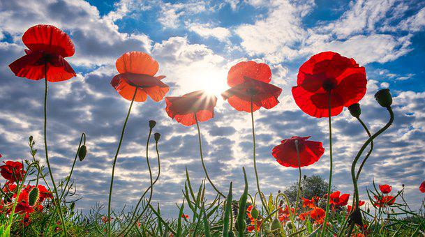 Poppies, Field, Yorkshire, Sun Rays, Summer, God Rays