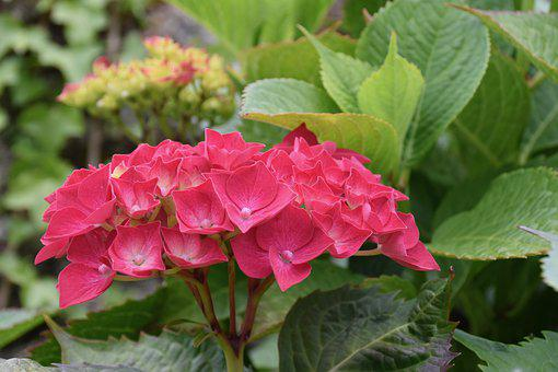 Flower, Flowers Hydrangea, Spring-flowering, Red Color