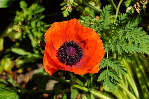 Poppy, Blossom, Bloom, Red Summer, Flower, Nature