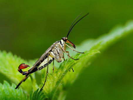Scorpionfly, Fly, Scorpion, Tail, Stinger, Wings