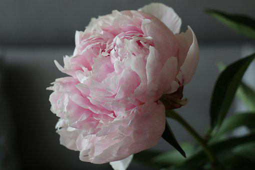 Flower, Peony, The Smell Of, Pink, Beauty, Spring