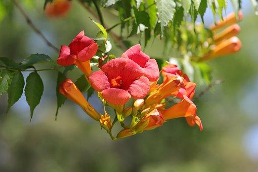 Campsis, Flowers, Nature, Plants, Petal, Stem, Red