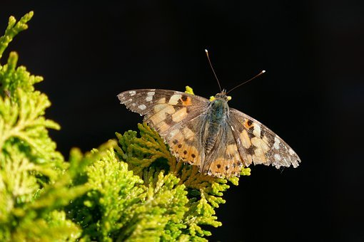 Butterfly, Insect, European Map, Nature, Summer, Wing
