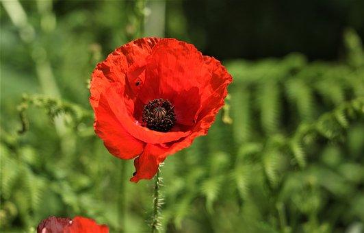 Plant, Flower, Poppy, Poppy Flower, Summer, Red, Nature