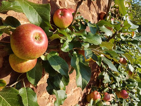Apples, Wall, Leaves, Orchard, Fruit, Sunshine