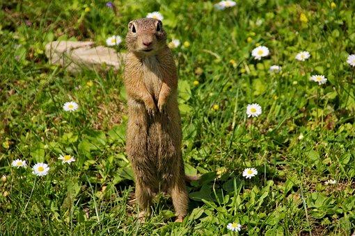 Gopher, The European, Rodent, Mammal, Animal, Cute