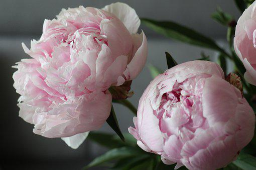 Spring, Flowers, Peonies, The Petals, The Smell Of