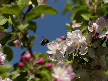Bee, Tree, Spring, Apple Blossom, Wild Bee, Flowers