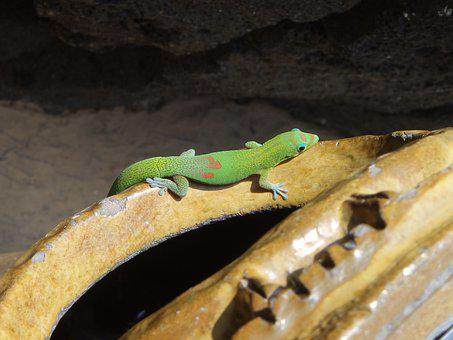 Gold Dust Day Gecko, Gecko, Hawaii, Tropic, Colorful