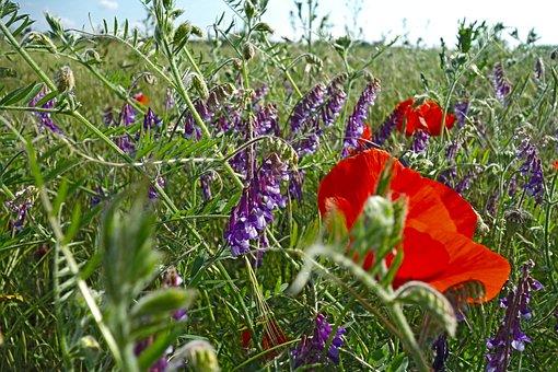 Summer Meadow, Poppies, Vetches, Klatschmohn, Nature
