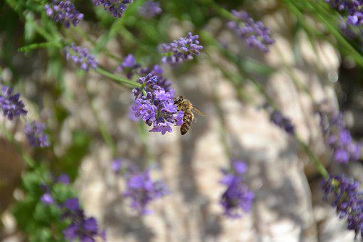 Lavender, Purple, Violet, Fragrance, Flowers, Herbs