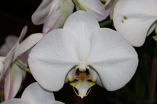 Orchid, White, Blossom, Bloom, Pure White, Phalaenopsis
